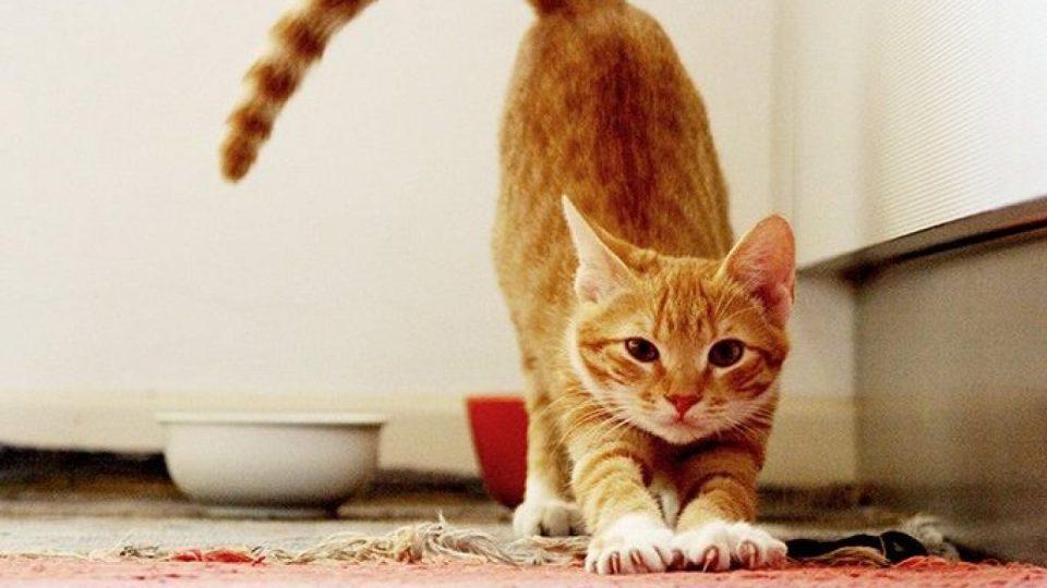 El celo en los gatos: elevar los cuartos traseros es una señal