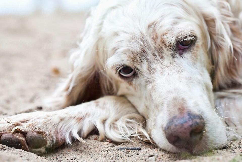 causas moquillo en los perros
