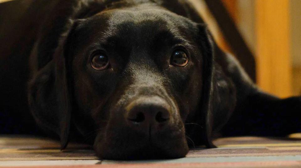 enfermedades peligrosas para el perro