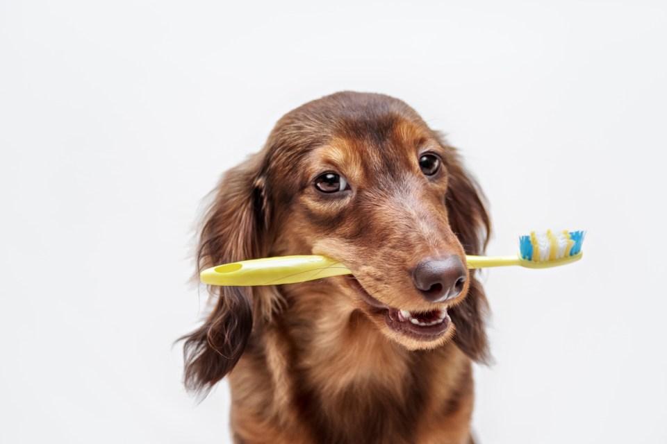 cepillar los dientes de la mascota
