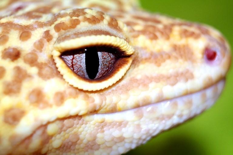 Cuidados y características del gecko leopardo