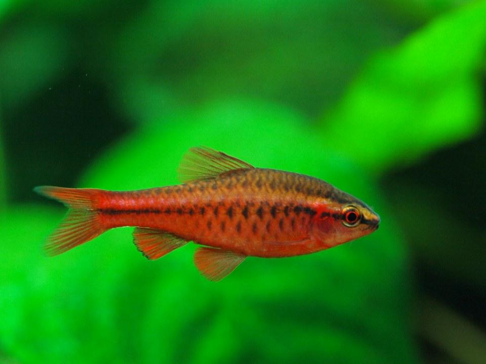 peces de agua caliente más económicos