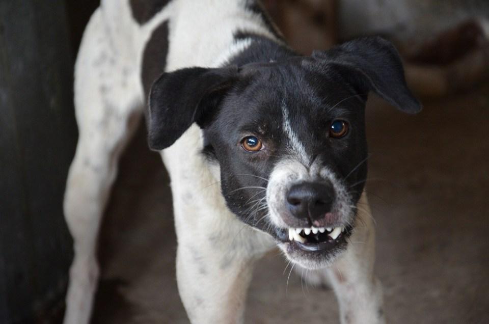 Un perro enfadado no debe mostrarse agresivo