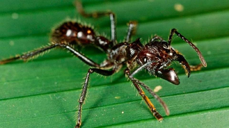 Hormiga bala, un insecto peligroso