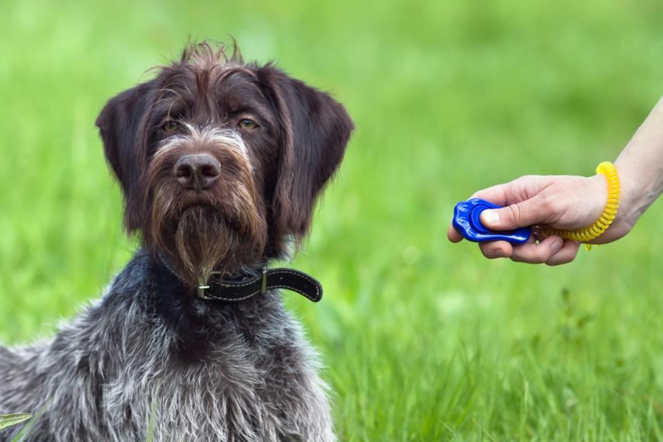 adiestrar a tu perro con clicker