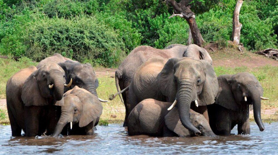 elefantes de Botswana