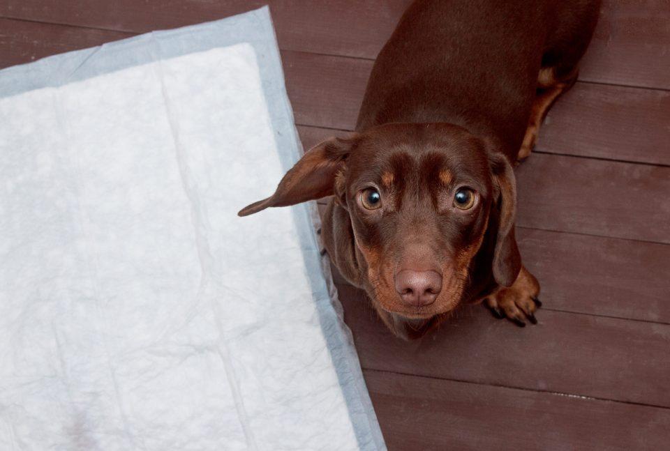problemas renales en perros más habituales