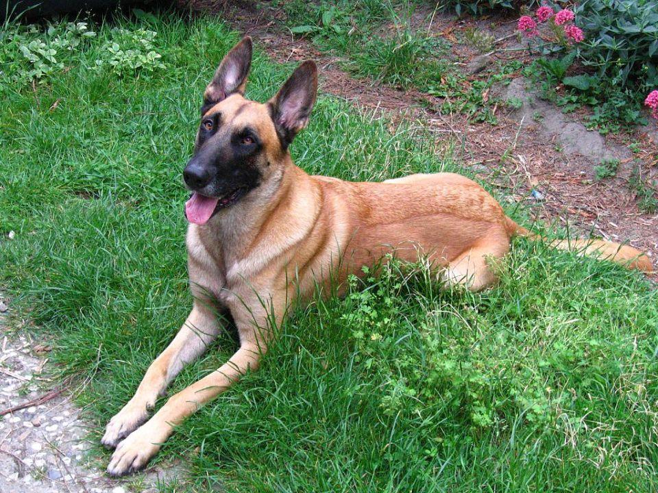 mejores razas de perro guardián