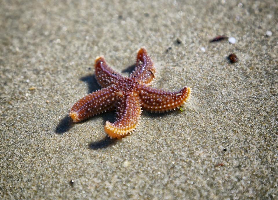 Las estrellas de mar pueden regenerarse por reproducción asexual o por amputación