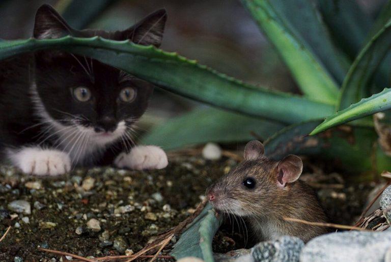 Descubre los motivos por los que los gatos llevan animales muertos a sus dueños