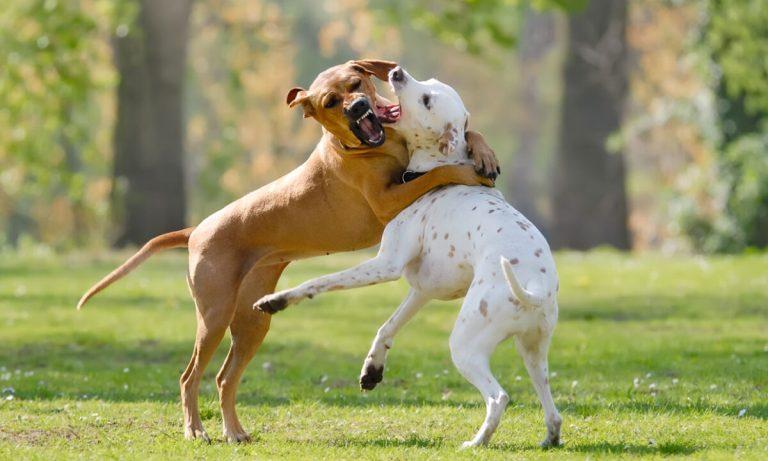 Cómo actuar cuando dos perros se están peleando