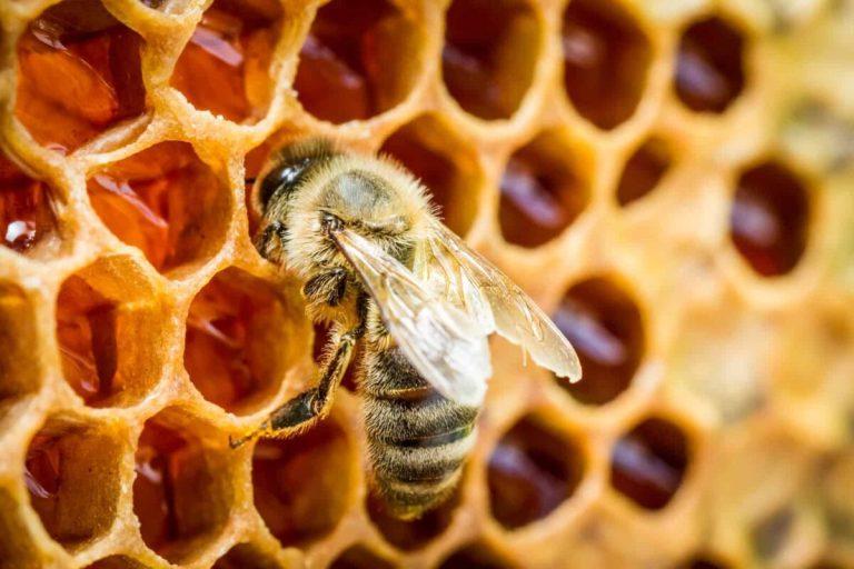 Cómo producen la miel las abejas