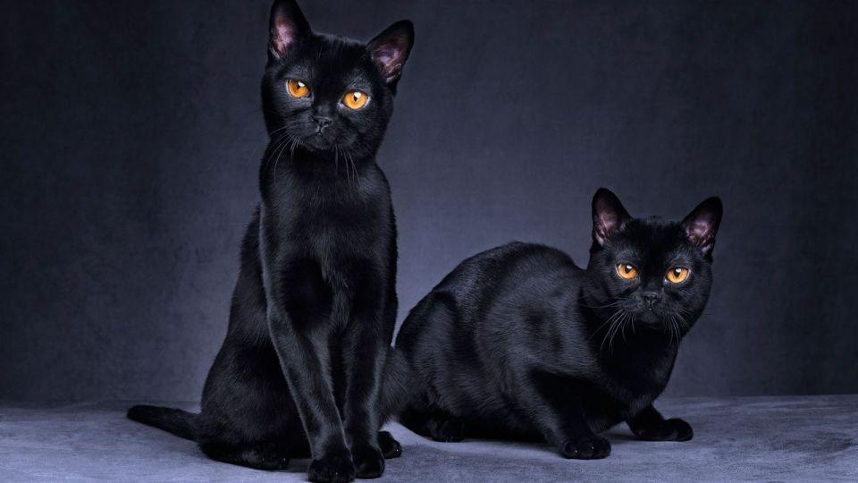 razas de gato más hogareñas y cariñosas