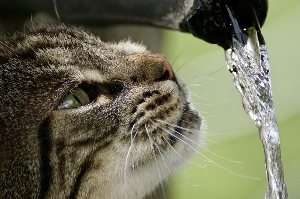 Si no bebe suficiente agua, tu gato podría desarrollar problemas renales