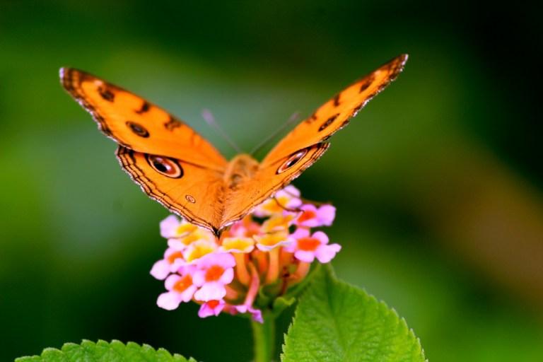 migración mariposas monarca