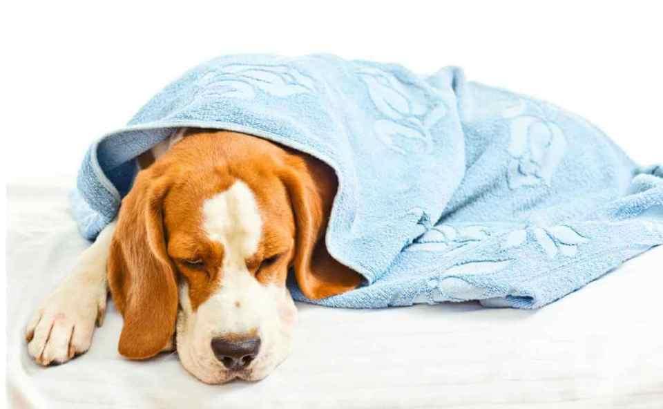 descubre cómo prevenir el cáncer en perros