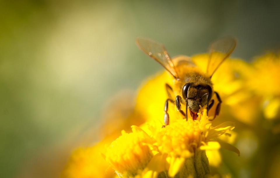 Cómo producen la miel las abejas: polinización