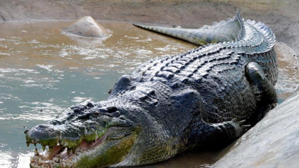 cocodrilo gigante, uno de los animales más grandes del mundo