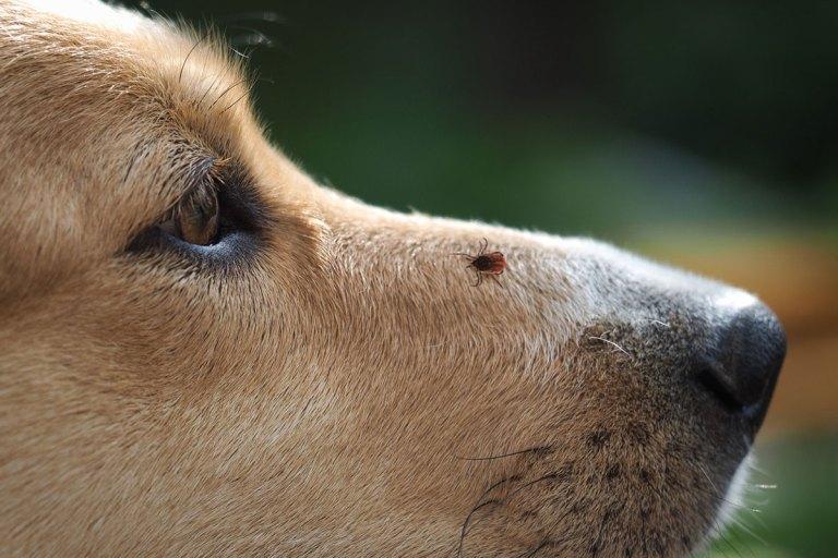 tratamientos para evitar las garrapatas en perros