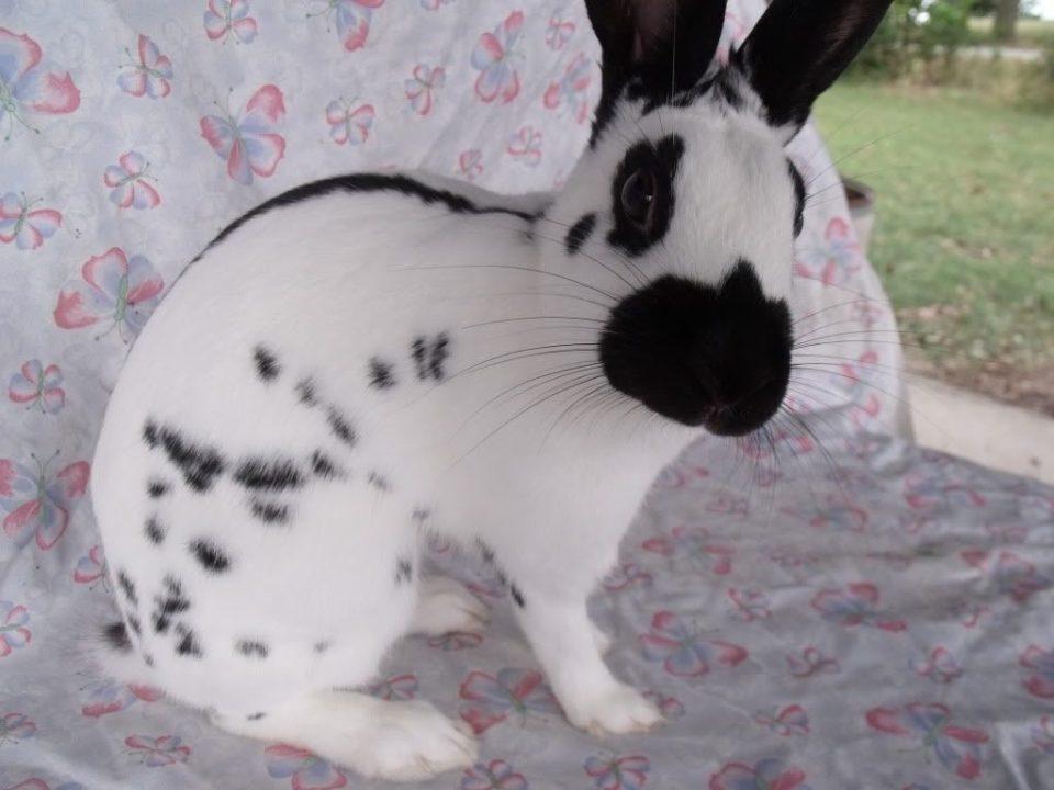 Conejo inglés manchado