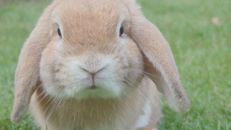 conejos muy grandes
