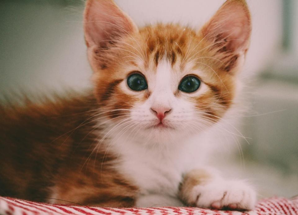 Tener un gato en casa requiere de cuidados especiales