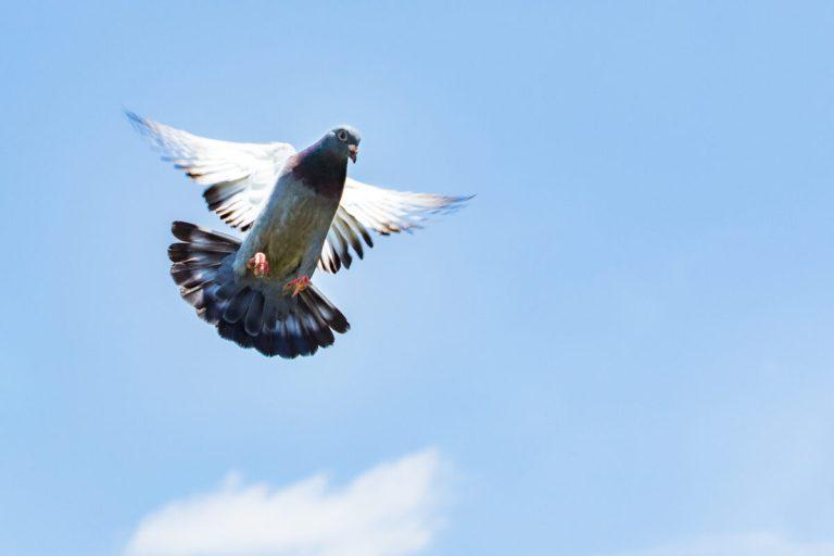 descubre cómo se orientaban las palomas mensajeras