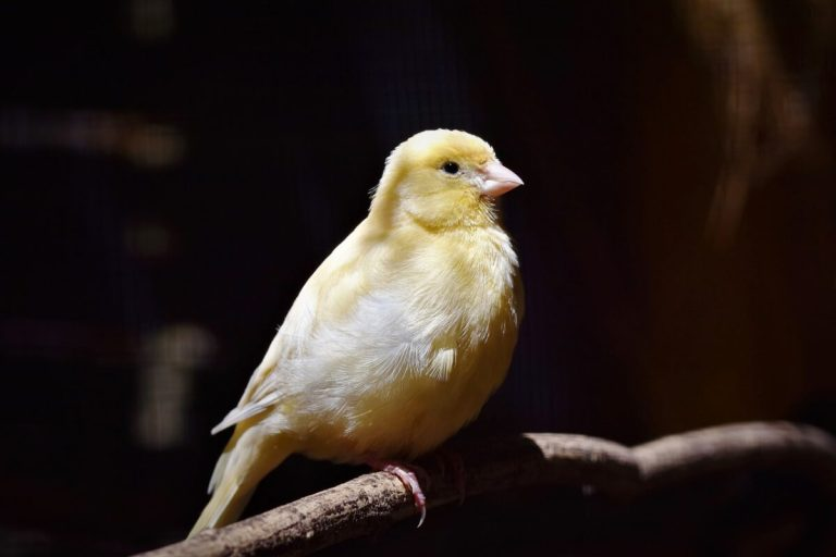 Un canario resfriado suele dejar de cantar