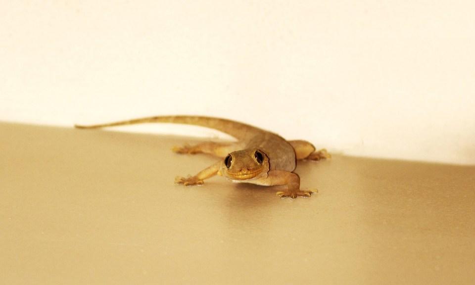 Principales cuidados que requiere un gecko en casa