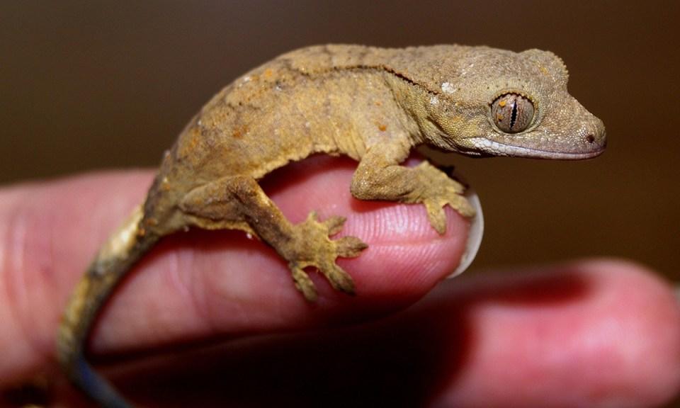 Recomendaciones para manipular a un gecko en casa