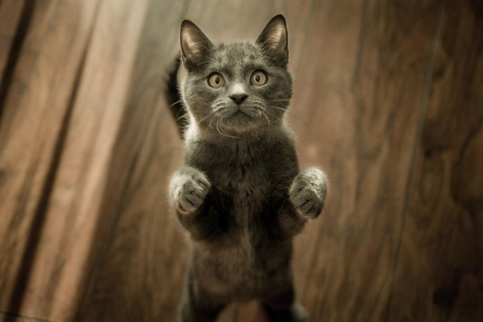 porqué ronronean los gatos