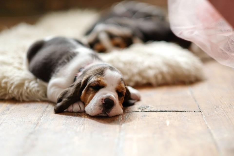 adoptar a un beagle cachorro