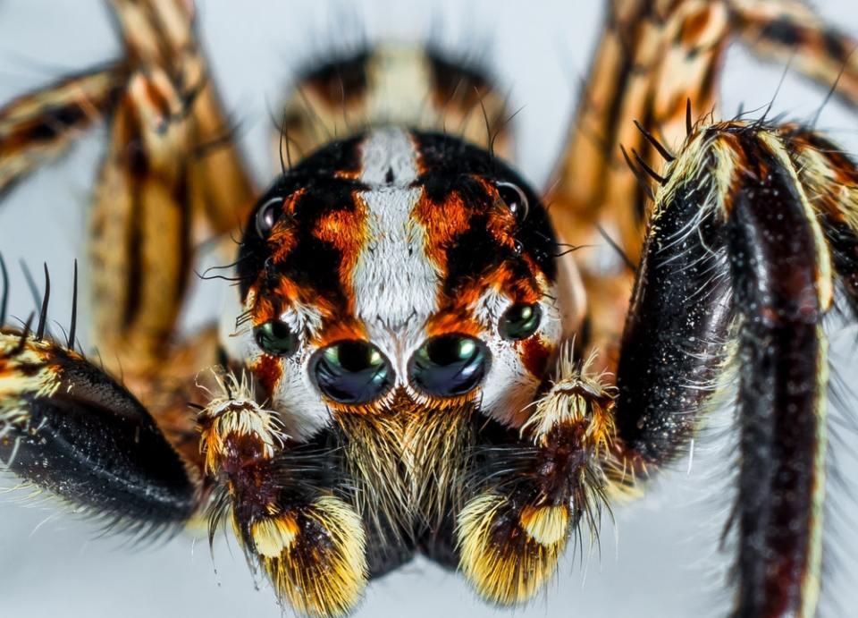 Las arañas tejedoras no tienen buena visión