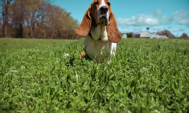 El basset hound es uno de los perros con orejas largas