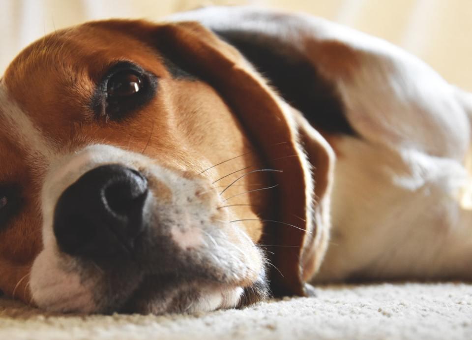 El beagle es un perros con orejas largas muy famoso por los dibujos de Snoopy
