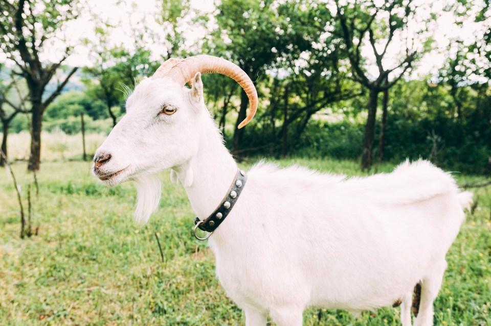 criar una cabra como mascota
