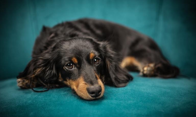 El embarazo psicológico en perros afecta a la mayoría de las hembras de perro no esterilizadas