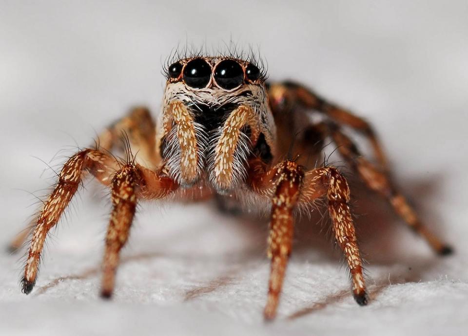 ¿Cuántos pares de ojos tiene una araña saltarina? Tienen 8, y gozan de una excelente visión