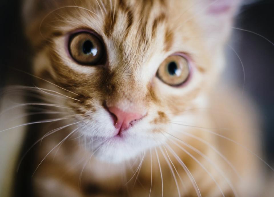 Los gatos con toxoplasmosis tienen distintos síntomas dependiendo del lugar donde el parásito se encuentre