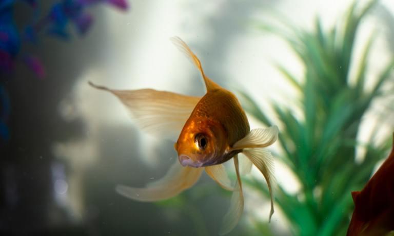 El goldfish es una alternativa para comprar peces online