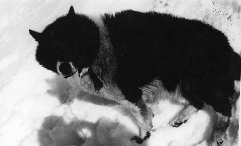 Las razas de perros que se han extinguido lo han hecho por la cruza con otras especies