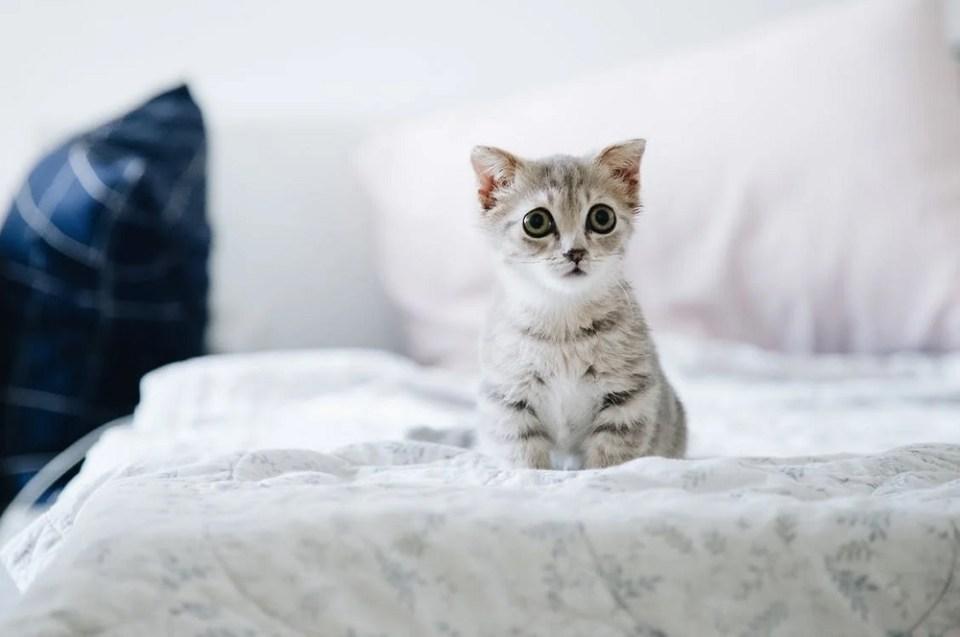 El gato British es un felino muy juguetón