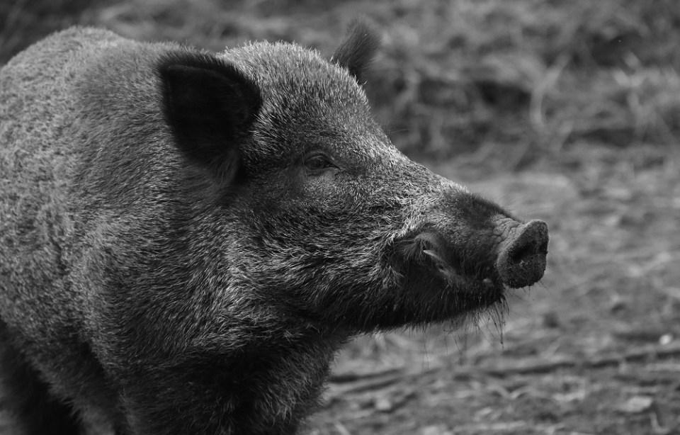 Qué comen los cerdos salvajes