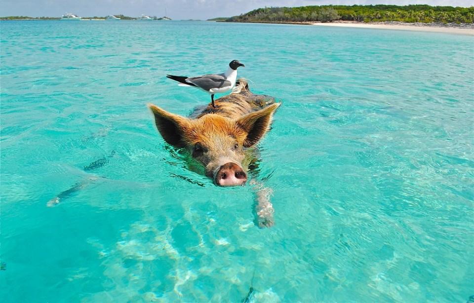 el cerdo entre los animales más inteligentes del mundo