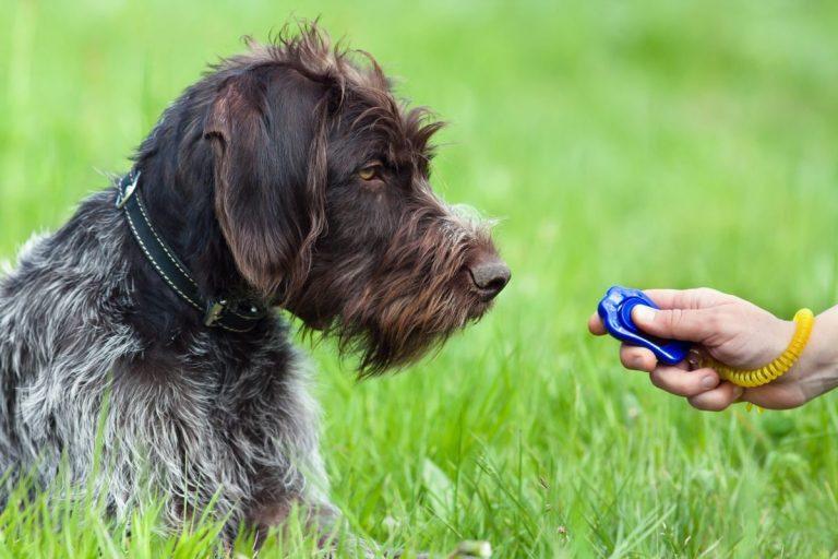 adiestrar perro con clicker