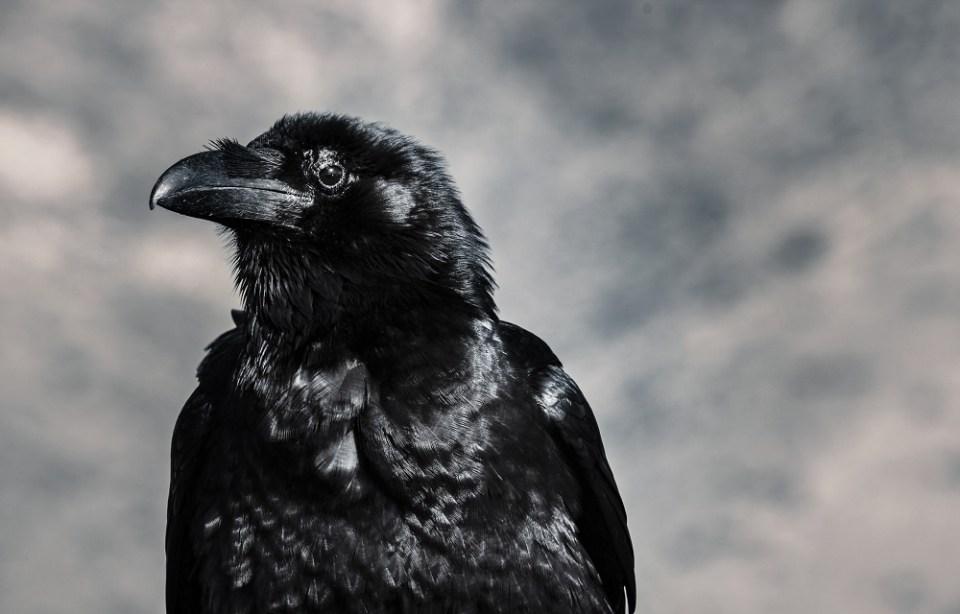 el cuervo entre los animales más inteligentes del mundo