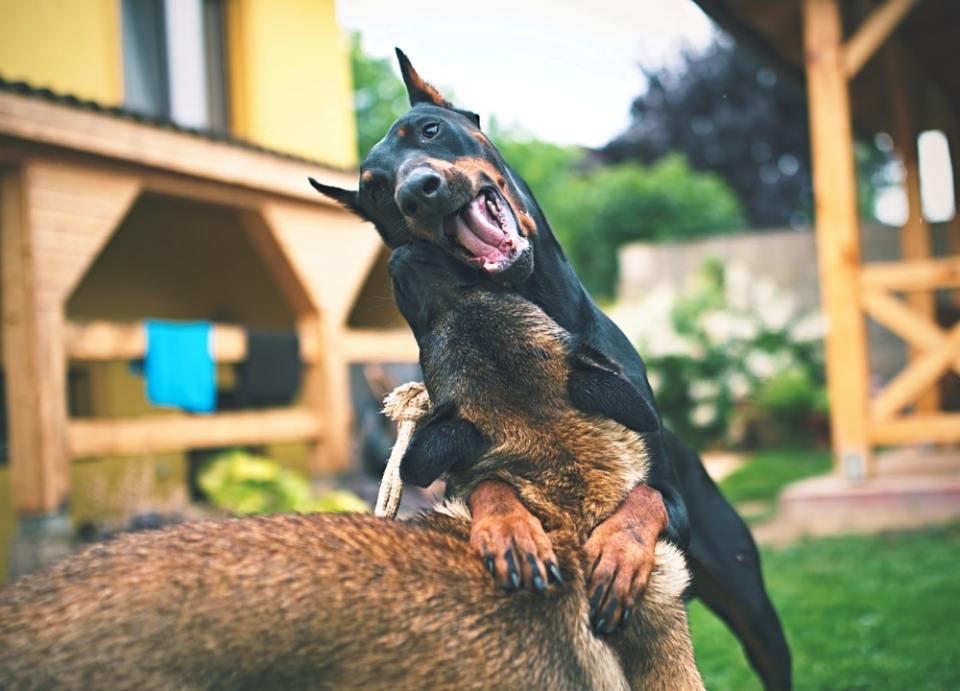 Por genética, estos perros tienen mucha energía
