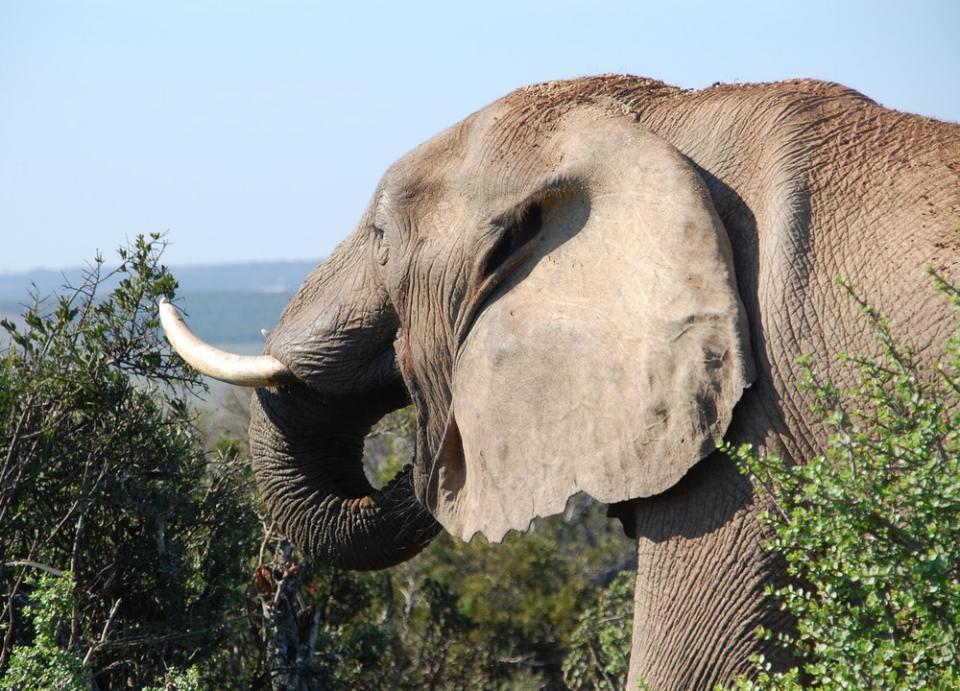 Los elefantes son hervíboros y frugívoros