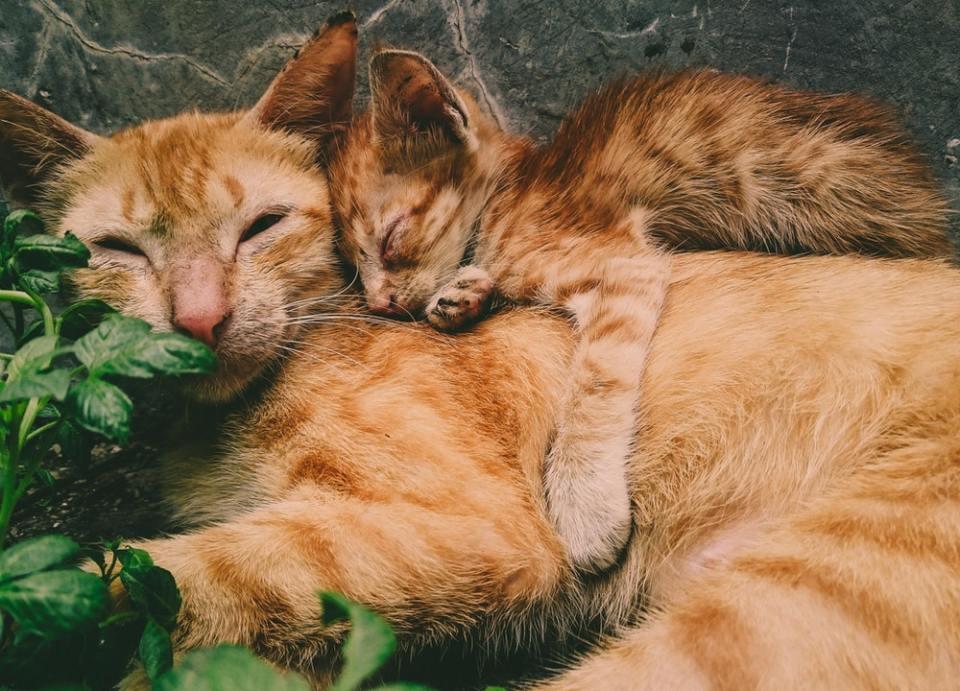 Las gatas deben de esterilizarse antes de cumplir un año para prevenir la enfermedad