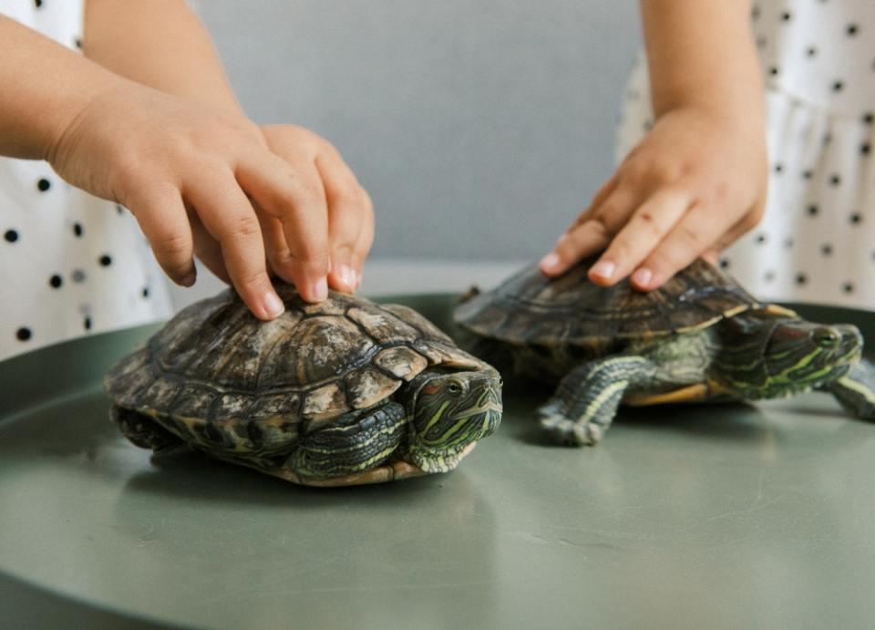 Una tortuga mascota no es nada recomendable para los niños
